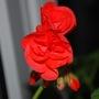 Pelargonium opening........ (Pelargonium  red.)