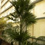 Mauritia flexuosa - Moriche Palm (Mauritia flexuosa - Moriche Palm)