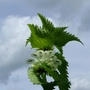 White_dead_nettle_lamium_album_