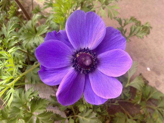 anenome (anemone)