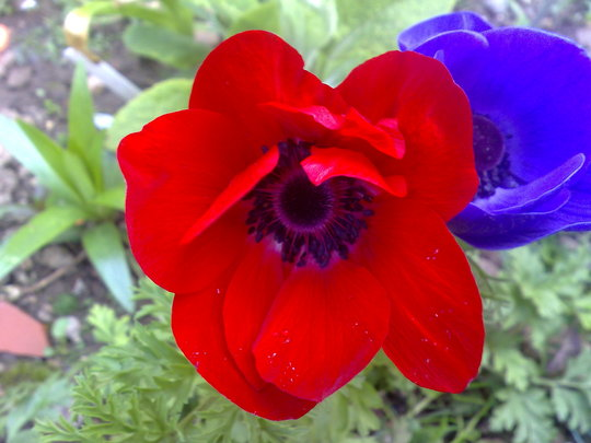 anenome red (anemone)