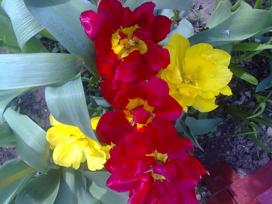 tulips red and yellow