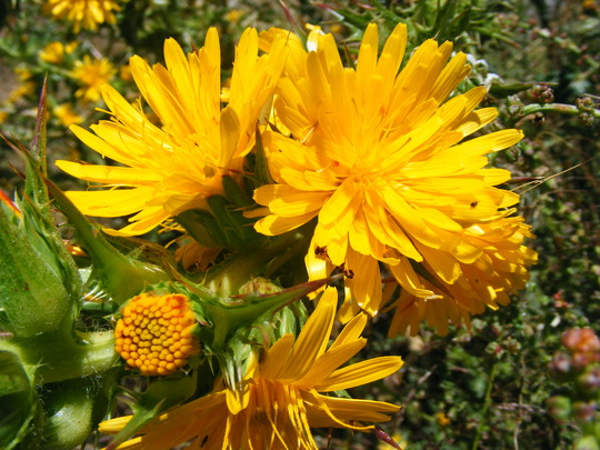 Scolymus hispanicus     (wild flower) (Scolymus hispanicus)