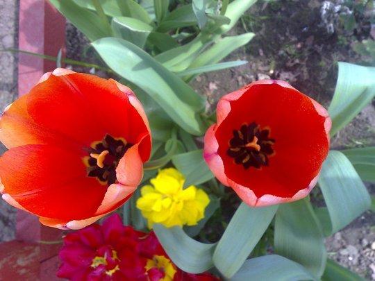 tulip orange/red