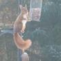 Wildlife - Red Squirrel (Tufty Lugs) blog