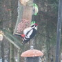 Wildlife - Greater Spotted Woodpecker (male)