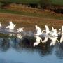 Wildlife - Swans taking off