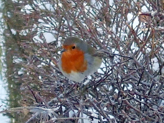 Wildlife - Robin (hedgerow)
