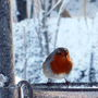 Wildlife - Robin eating mealy worms