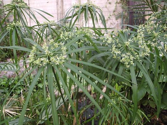 Cyperus diffusus (Cyperus diffusus)