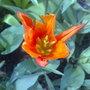 Lily tulip orange sapporo