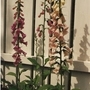 foxgloves (Digitalis purpurea (Common foxglove))