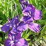 Iris  ensata Minowa-no-sato