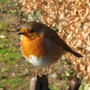 Obliging robin at Anglesey Abbey
