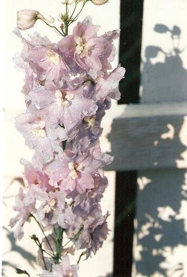 delphinium (Delphinium elatum (Delphinium))