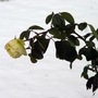 Rose_looks_at_snow