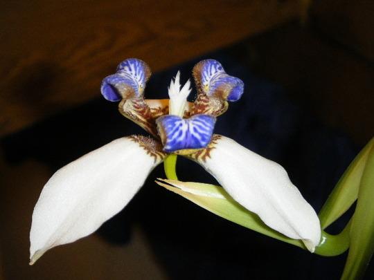 She Blooms: Neomarica gracilis (Neomarica gracilis)