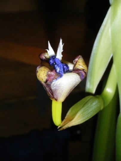 Evening:  Neomarica gracilis (Neomarica gracilis)