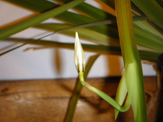 The Bud: Neomarica gracilis (Neomarica gracilis)