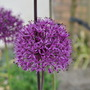 Allium (Allium aflatunense Purple Sensation)