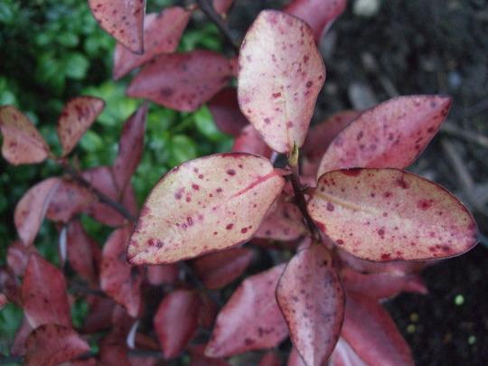 Pseudowintera colorata (Pseudowintera colorata)