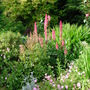 More mixed planting (Lupinus)