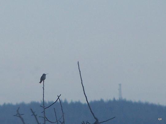 First Hummingbird of 2010
