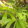 Licuala ramsayi - Australian Fan Palm, Australiana Licuala (Licuala ramsayi - Australian Fan Palm, Australiana Licuala)