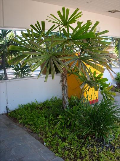 Licuala spinosa - Mangrove Palm, Spiny Licuala - San Diego, CA. (Licuala spinosa - Mangrove Palm, Spiny Licuala)