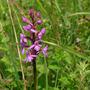 Fragrant_orchid_gymnadenia_conopsea_