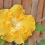 Yellow Hibiscus (Hibiscus)