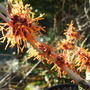 Hamamelis_Aphrodite_close_up.jpg (Hamamelis x intermedia (Witch hazel) Aphrodite)