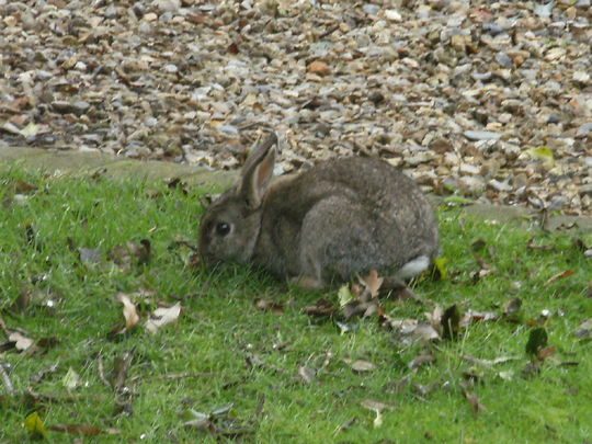 Rabbit ...   in my garden !
