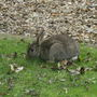 Rabbit_in_garden