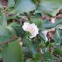 Camellia - Transokoensis