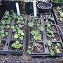 Pelargonium_Sidoides_seedling..jpg (Pelargonium sidoides (Geranium))