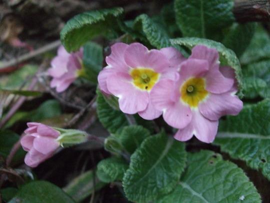 Primula vulgaris (Primula vulgaris (Native primrose))