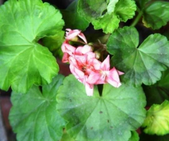 Geraniums flowering in GH (geraniums are Pelargonium species)