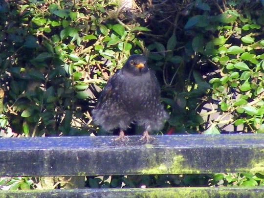Mr. Blackbird  (posing)