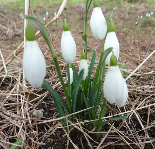 Snowdrops At Last (Galanthus nivalis (Common snowdrop))