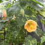 "Abutilon striatum ""Thomsonii"""