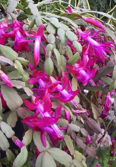 Zygocactus truncatus (Christmas Cactus) (Zygocactus  truncatus)