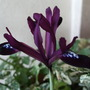 Iris reticulata 'Purple Gem' (Iris reticulata 'Purple Gem')