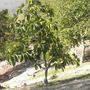 Ficus lutea (nekbudu) - Zulu Fig (Ficus lutea (nekbudu) - Zulu Fig)
