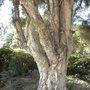 Melaleuca quinquenervia - Paperbark Tree Trunk (Melaleuca quinquenervia - Paperbark Tree Trunk)
