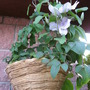 Clematis first time growing in a hanging basket
