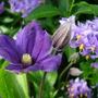 Arabella with solanum (Solanum Crispum Glasnevin)
