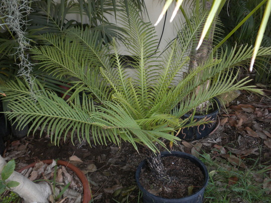 Blechnum gibbum - Silver Lady Fern, Dwarf Tree Fern (Blechnum gibbum - Silver Lady Fern, Dwarf Tree Fern)