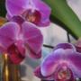 miniature pink phalaenopsis