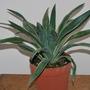 Yucca gloriosa variegata. (Yucca gloriosa (Spanish dagger))